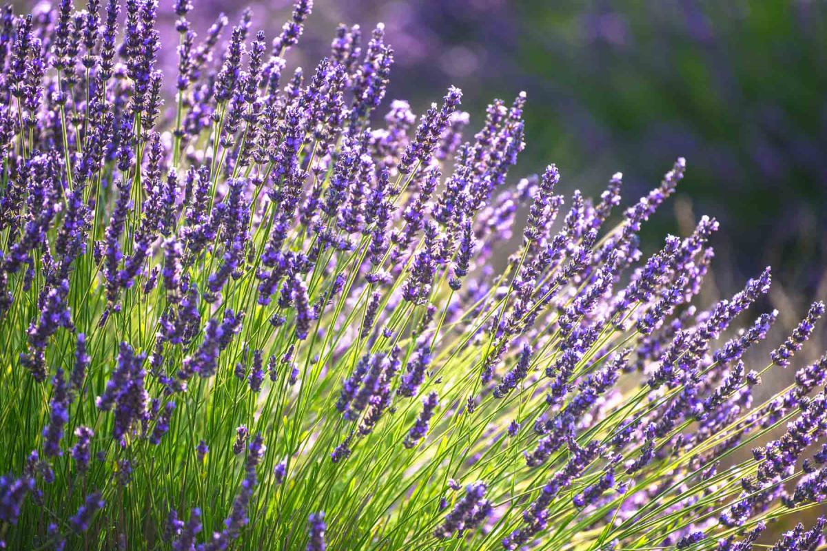 Echter Lavendel gegen Kleidermotten